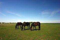 Drie weidende paarden Stock Foto
