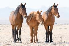Drie wild paarden Namibië Royalty-vrije Stock Afbeeldingen
