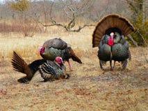 Drie wild Turkije tijdens het seizoen van het de lentefokken in volledige plummage Royalty-vrije Stock Foto