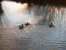 drie wilde eenden die weg de stroomzonsondergang zwemmen van de watergolf Stock Afbeeldingen