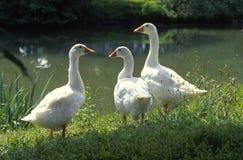 Drie wilde ganzen bij de waterlijn Royalty-vrije Stock Foto