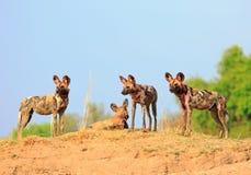 Drie wilde honden met een trillende blauwe hemel en een groene struik status die als achtergrond waakzaam, het nationale park van royalty-vrije stock foto's