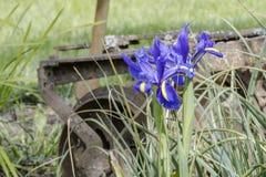 Drie wilde irissen tegen een roestig de landbouwhulpmiddel Royalty-vrije Stock Afbeelding