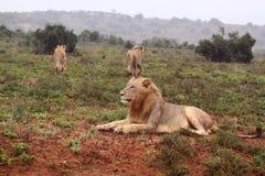 Drie wilde leeuwen Stock Foto