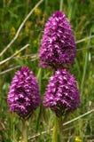 Drie wilde Piramidale Orchideeinstallaties - Anacamptis-pyramidalis Royalty-vrije Stock Foto