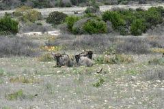 Drie Wildebeest het Bepalen stock foto