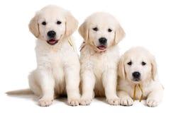 Drie wit Labrador puppy op witte achtergrond Stock Fotografie