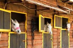 Drie witte Arabische paarden die uit van hun dozen kijken Royalty-vrije Stock Afbeelding