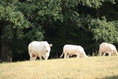 Drie witte die koeien op een weide in zomer 2018, in Pfälzer Wald wordt gezien stock foto's