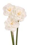 Drie witte dubbele gele narcissen Royalty-vrije Stock Afbeeldingen