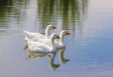 Drie witte eenden Royalty-vrije Stock Foto's