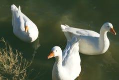 Drie witte eenden Royalty-vrije Stock Foto
