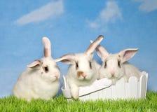 Drie witte konijntjes in gras twee in een Pasen-mand royalty-vrije stock afbeelding