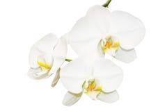 Drie witte orchideeënbloemen royalty-vrije stock afbeeldingen