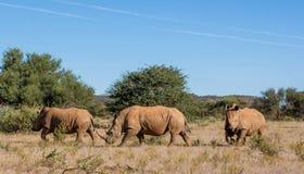 Drie witte rinocerossen Stock Foto