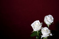 Drie witte rozen Royalty-vrije Stock Afbeelding