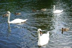 Drie witte zwanen zwemmen op een meer met eenden paddelend onder hen Royalty-vrije Stock Afbeelding