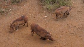 Drie Wrattenzwijnen die naar de Geur van Voedsel op Dusty Red Earth In Africa zoeken stock videobeelden