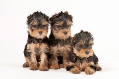 Drie yorkiepuppy Royalty-vrije Stock Afbeeldingen