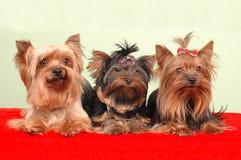 Drie Yorkshire terriers het liggen Royalty-vrije Stock Afbeeldingen
