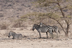 Drie zebra en Acacia van Grevy. Royalty-vrije Stock Fotografie