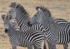 Drie zebras Stock Afbeelding
