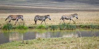Drie zebras Stock Afbeeldingen
