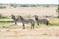 Drie zebras Royalty-vrije Stock Afbeeldingen