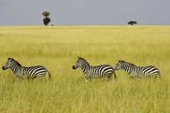 Drie zebras Royalty-vrije Stock Foto