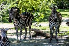 Drie zebras Royalty-vrije Stock Fotografie