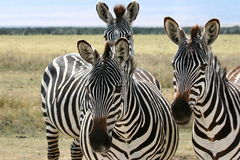 Drie zebras royalty-vrije stock afbeelding