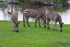 Drie zebras die in de Wereld van de Safari, Bangkok lopen Stock Foto's