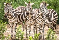 Drie Zebras die op iets wachten om te gebeuren Royalty-vrije Stock Afbeeldingen