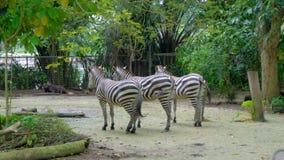 Drie zebras die staarten in dierentuin zwiepen met