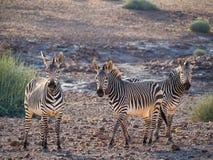 Drie zebras die zich in rotsachtige omgeving tijdens middaglicht bevinden, Palmwag-Concessie, Namibië, Afrika royalty-vrije stock foto's