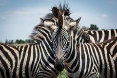 Drie Zebras in een wirwar Royalty-vrije Stock Foto