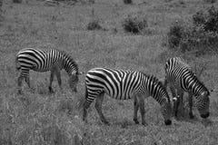 Drie Zebras het weiden Stock Foto