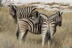 Drie zebras: Wie is wie? Stock Afbeeldingen