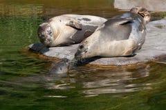 Drie zeeleeuwen Stock Foto's