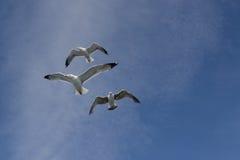 Drie zeemeeuwen Royalty-vrije Stock Fotografie