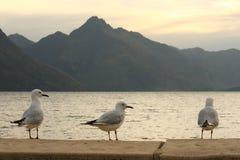 drie zeemeeuwen bij meer Wakatipu Stock Foto's