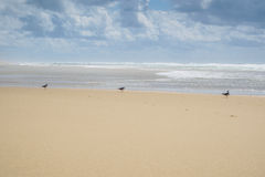 Drie zeemeeuwen die zich in het ondiepe water bevinden Stock Fotografie