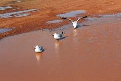 Drie Zeemeeuwen in een Modderige pool na Regen Stock Afbeeldingen