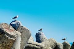 Drie zeemeeuwen landden stijgend op een baai concrete tetrapods royalty-vrije stock fotografie