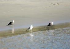 Drie zeemeeuwen op oever bij Vreedzame Oceaan royalty-vrije stock afbeeldingen