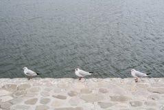 Drie zeemeeuwen standind bij de rand van steendijk van Kaspische Overzees in Baku Royalty-vrije Stock Foto's