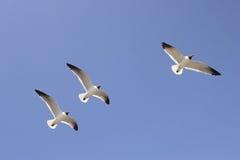 Drie zeemeeuwen tijdens de vlucht stock fotografie
