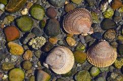 Drie zeeschelpen in water Stock Foto
