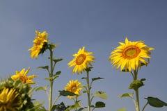 Drie zonnebloemen Royalty-vrije Stock Foto