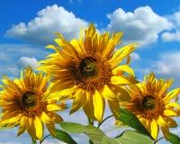 Drie zonnebloemen Stock Foto
